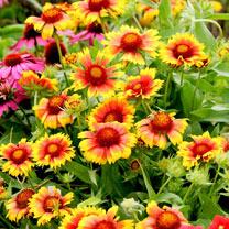 Gaillardia Plant - Mesa Bicolour Bright