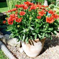 Gaillardia Plant - Celebration