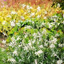 Gaura Plants - Sparkler White Gem