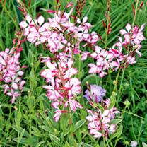 Gaura Plant - Freefolk Rosy
