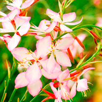 Gaura Plant - Rosy Jane