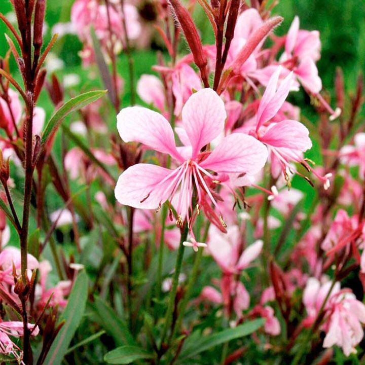 Gaura Plant - Passionate Blush