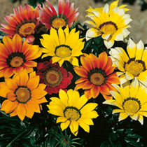 Gazania Mixed Plants