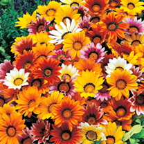 Gazania Seeds - Promise Mixed