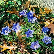 Gentiana Plant - sino-ornata