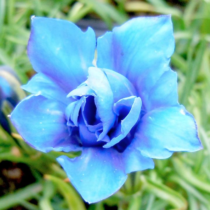 Gentiana Plant - Eugens Allerbester