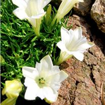 Gentiana Plant - Serenity