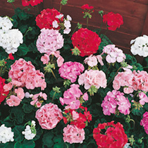 Geranium Seeds - Pastorale Mixed F2 (Twin Pack)