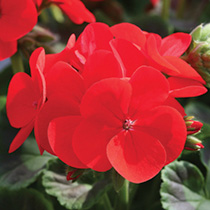 Geranium Seeds - Infiniti Series Scarlet F1