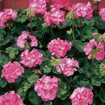 Geranium Seeds - Vista Series Deep Rose F2