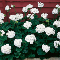 Geranium Seeds - Vista Series White F2