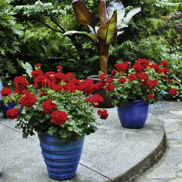 Geranium Plants - Zonal Red
