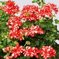 Geranium Mexica Plants - Ruby