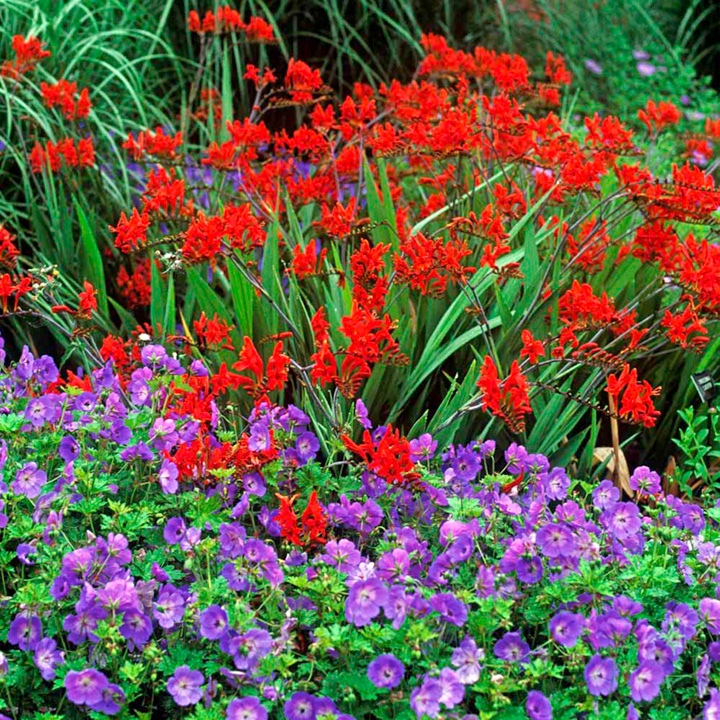 Crocosmia plant lucifer dobies - Flowers planted may complete garden ...