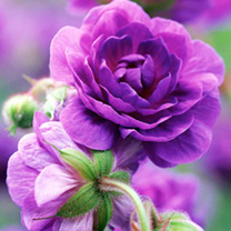 Geranium himalayense Plants - Plenum Offer