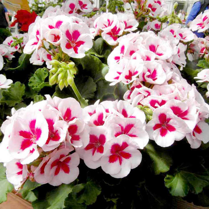 Geranium plants americana white splash all flower plants flower plants flowers garden - Flowers planted may complete garden ...