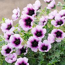 Geranium Plant - Thumping Heart
