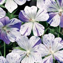 Perennial White/Bicolour Plants - Collection