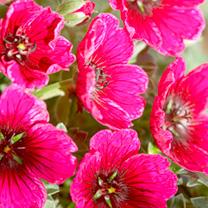 Geranium Plant - Jolly Jewel Purple