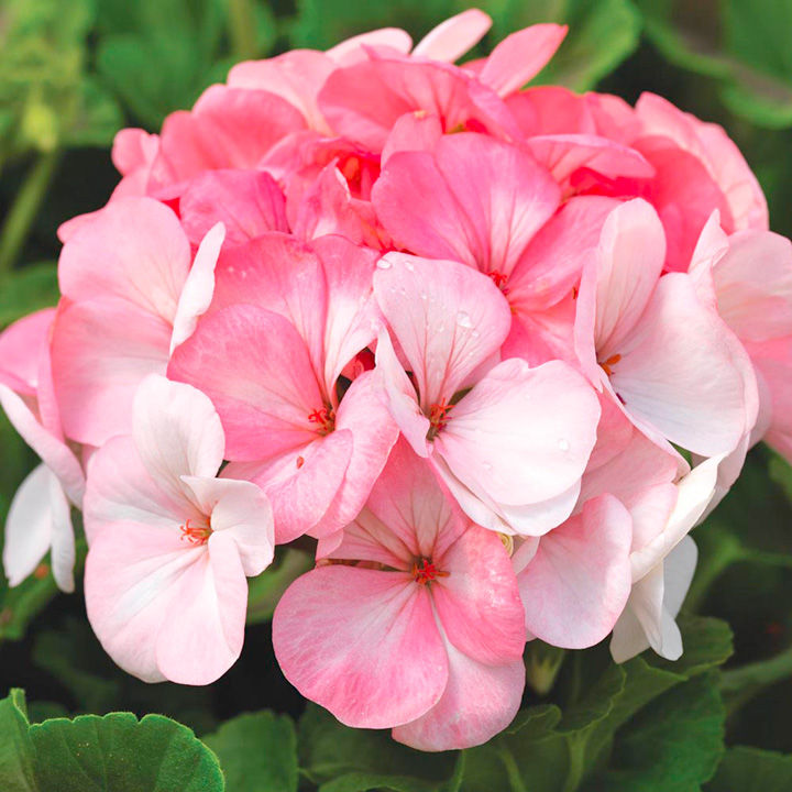 Geranium Seeds - Pinto White to Rose F1