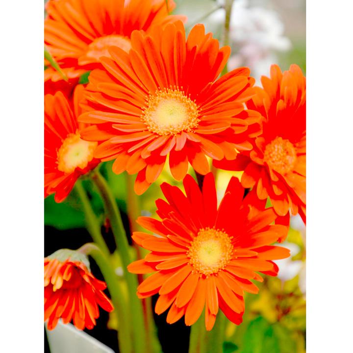Gerbera Garvinea® Plant - Sweet Glow