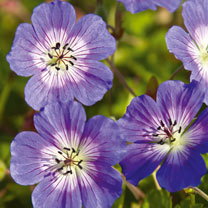 Geranium Plant - Rise and Shine