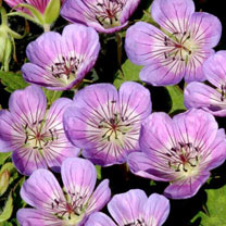 Geranium Plant - Sweet Heidy