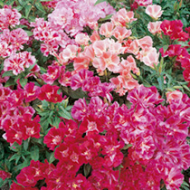 Godetia Dwarf Bedding Mixed Seeds