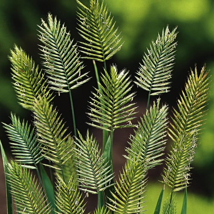 Grass Seeds - Wangenheimia Vulcan