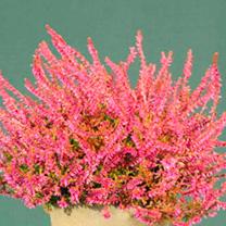 Heather Plant - Calluna vulgaris Garden Girls Bonita