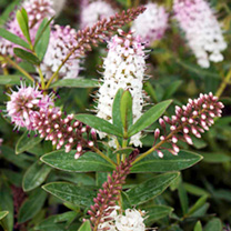 Shrub Collection - Hebes