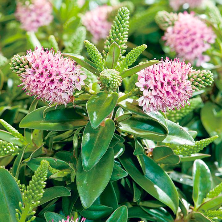 Hebedonna Plant - Sofia