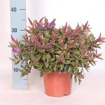Hebedonna Plant - Emma