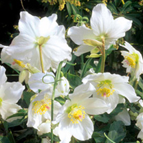 Helleborus Plant - Niger
