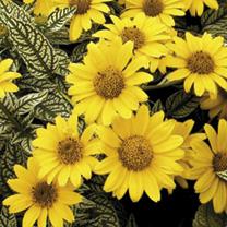 Heliopsis Plant - Loraine Sunshine