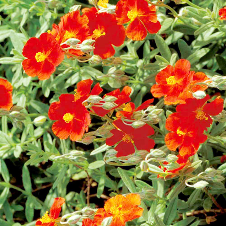 Helianthemum Plant - Fire Dragon