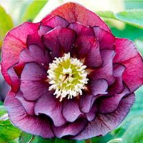 Helleborus Plants - Double Ellen Purple