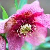 Helleborus Plant - Tutu