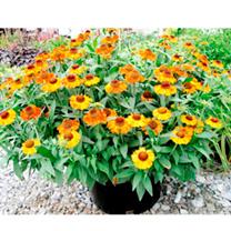 Helenium Plant - Short 'n' Sassy