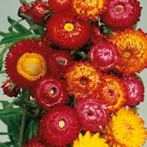 Helichrysum Seeds - Monstrosum Double Mixed
