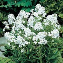 Hesperis Plant - White
