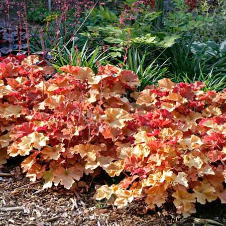 Heuchera Plants - Marmalade
