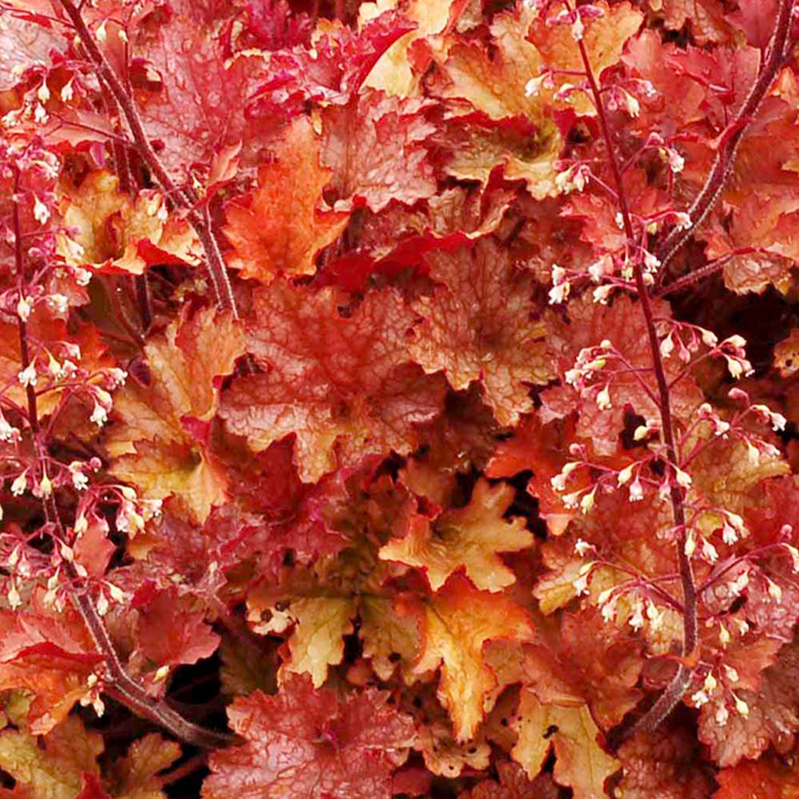 ... Perennial Plants All Perennial Plants Heuchera Plant - Ginger Peach