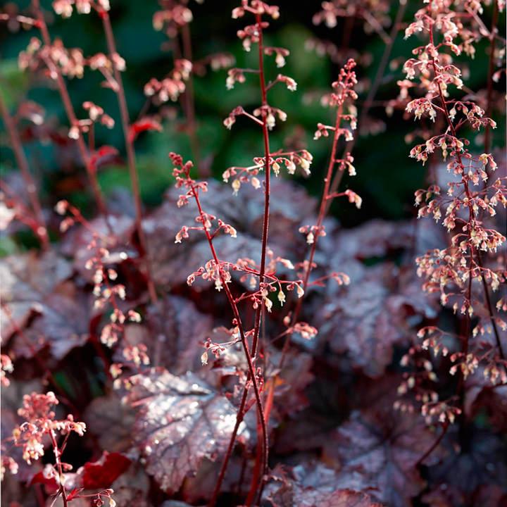 Heuchera Plant - Plum Pudding