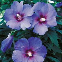 Hibiscus syriacus Plant - Marina (O.Bleu)