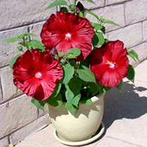 Flower Pots & Stands Hibiscus Plants - F1 Honeymoon Mix