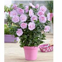 Hibiscus Chiffon Plant - Lavender