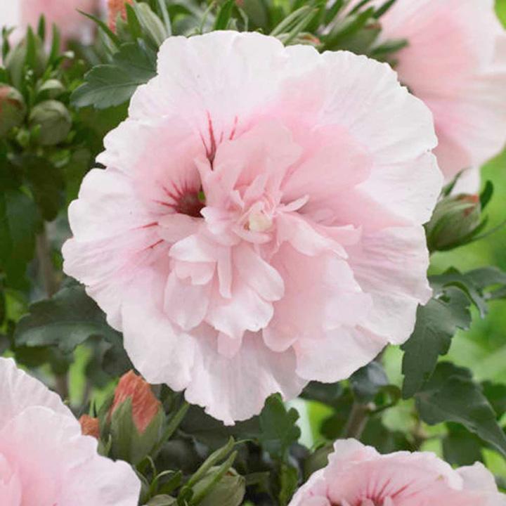 Hibiscus Chiffon Plant - Pink