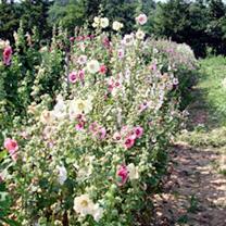 Hollyhock Seeds - Cabaret