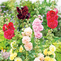 Alcea Plant - Chaters Double Mix